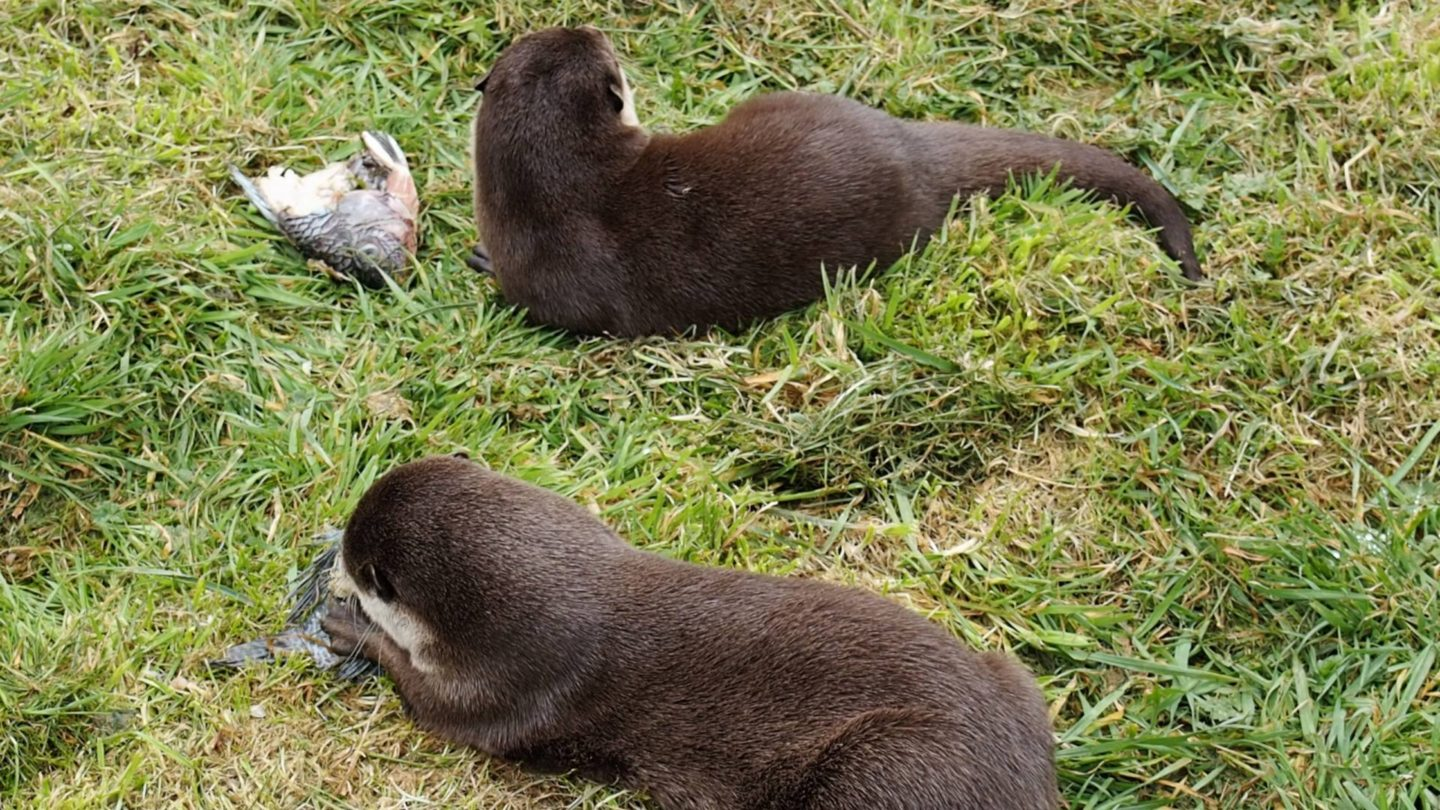 Lincolnshire Wildlife Park Otters