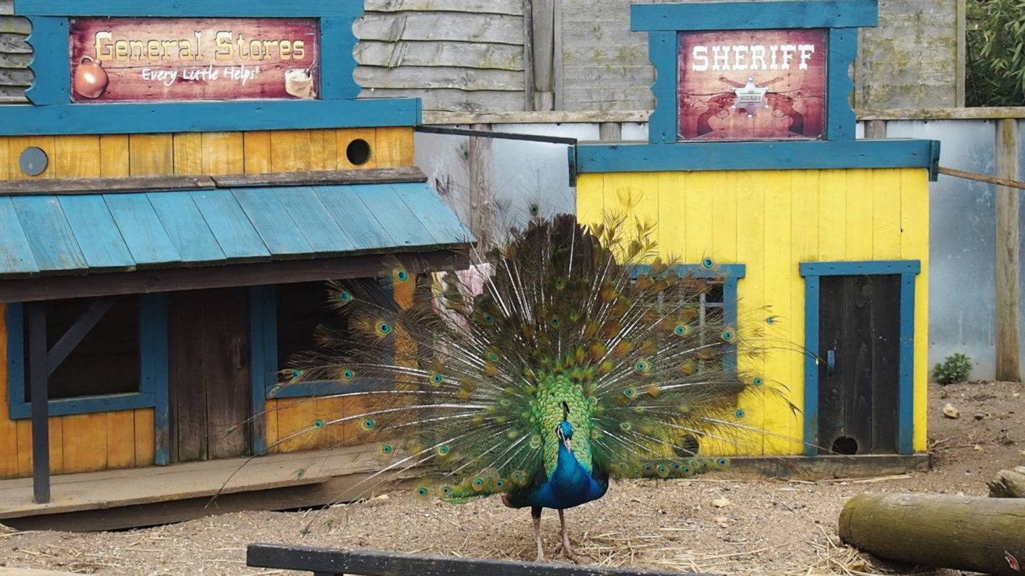 Peacock Lincs Wildlife Park