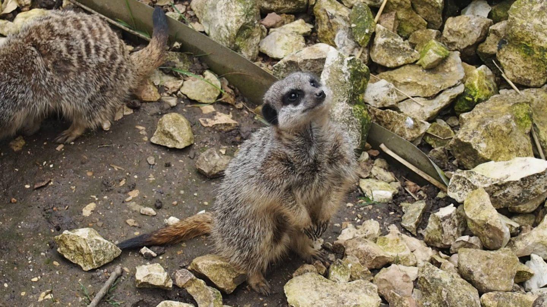 Lincolnshire Wildlife Park Meerkat