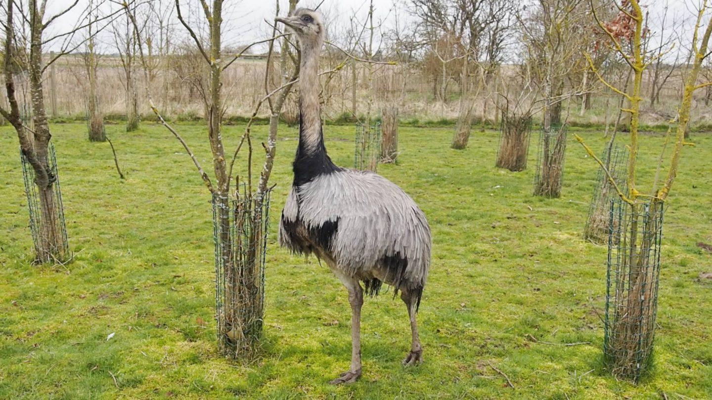 Lincolnshire Wildlife Park Emus